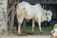 cow_in_sleman_java_2002_wikipedia.jpg