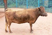 cow_wikipedia.jpg