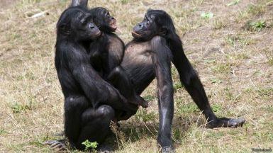 Bonobo dan simpanse melakukan ciuman, seperti yang mereka lakukan setelah berkelahi